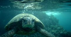 Turtle surrounded by fish swimming, taking air on ocean surface Stock Footage