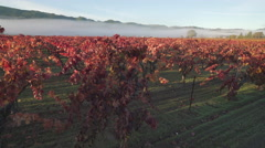 Fog over red vineyards panning right to left Stock Footage