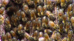 Bees Work to Create a New Hive - stock footage