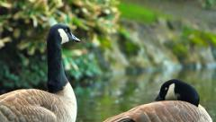 4K Canadian Goose Preens Feathers, Two Geese in front of Pond Stock Footage