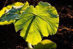 illuminated big leaf veins closeup - stock photo