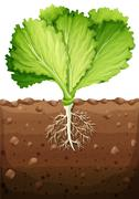 Green vegetable with leaves and roots Stock Illustration