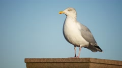 Close up seagull in Aberdeen, Scotland Stock Footage