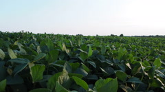 Soy Crop Stock Footage