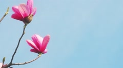 Bloomy magnolia tree with big pink flowers Stock Footage