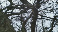 Bur burr oak autumn kentucky tree Stock Footage