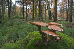 Common Armillaria Armillaria solidipes on moss Emsland Lower Saxony Germany Stock Photos