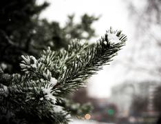 The first Snow fell on the branch to eat - stock photo