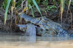 Yacare Caiman Caiman yacare devouring a fish Cuiaba river Pantanal Brazil South Stock Photos