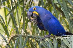 Hyacinth Macaw Anodorhynchus hyacinthinus feeding on nuts Pantanal Mato Grosso Stock Photos