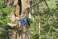 Hyacinth Macaw Anodorhynchus hyacinthinus flying out of its tree nest Pantanal Stock Photos
