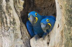 Hyacinth Macaws Anodorhynchus hyacinthinus pair in its tree nest Pantanal Mato Stock Photos