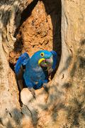 Hyacinth Macaw Anodorhynchus hyacinthinus in its tree nest Pantanal Mato Grosso Stock Photos