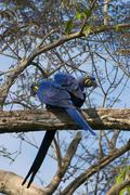 Hyacinth Macaws Anodorhynchus hyacinthinus pair perched on a tree branch Stock Photos