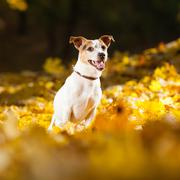 Amazing jack russell terrier in autumn - stock photo