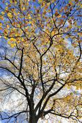 Tulip tree Liriodendron tulipifera autumn leaves against a blue sky North Stock Photos