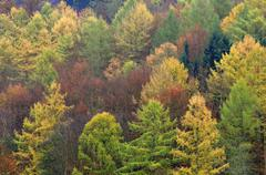 Autumnal mixed forest with larches Larix spruce trees Picea abies and beech - stock photo