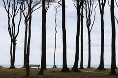 Beech Fagus sp in Gespensterwald or Nienhager Holz above steep coast ghost - stock photo