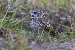 Burrowing owl Athene cunicularia sitting in grass Florida USA North America Stock Photos