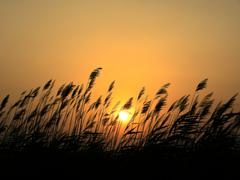 Sunset and reeds - stock photo