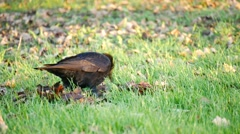 A crow walking on the grass and finding food Stock Footage