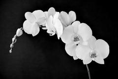 Phalaenopsis aphrodite orchid, in black and white Stock Photos