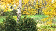 Faling leaves of a birch tree Stock Footage