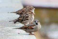 Sparrows - stock photo