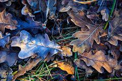 oak's autum leafage on frozen grass - stock photo