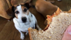 Hungry dog licking lips at peanut and jelly sandwich Stock Footage
