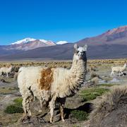 A llama in Andean mountains, Sajama Park, Bolivia, - stock photo