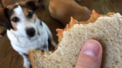 Yummy peanut butter and jelly sandwich in dog owners hand - stock footage