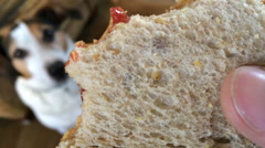 Close up of Peanut Butter and Jelly sandwich with dog in background Stock Footage