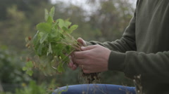 Preparing strawberries for replanting Stock Footage