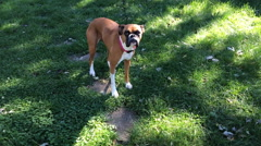 Boxer dog wiggling tail with excitement while being approached Stock Footage
