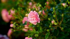 Wild rose bush Stock Footage