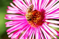 Bee on a purple aster flower Stock Photos