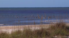 Large group of pelicans & ducks near breaking surf. Stock Footage