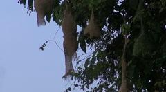 A Busy Baya Weaver Birds Colony Stock Footage