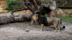 Lion roaring in the zoo. Sound included. Stock Footage