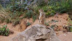 Meerkat standing on a rock Stock Footage