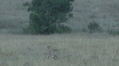 Three cheetah walk away from a wounded wildebeest - stock footage