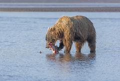 Bear Eating a Salmon it Caught - stock photo