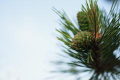 Siberian cedar branch with green cones Stock Photos