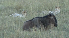 Two cheetah lay close to a wounded wildebeest - stock footage