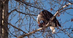 Bald Eagle in Tree Balancing with Salmon Carcass 2K Stock Footage
