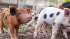 Cute Baby Pig Feeding Outdoors Stock Footage