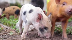 Cute Spotty Piglets Outdoors - stock footage