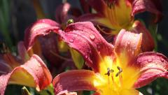 Tiger Lily Dolly After Rain Close Up Stock Footage