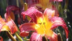 Tiger Lily Dolly During Rain Close Up Stock Footage